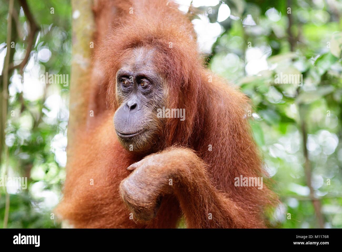 Adult female orangutan hanging from tree branches in Gunung Leuser National Park, Sumatra, Indonesia. - Stock Image
