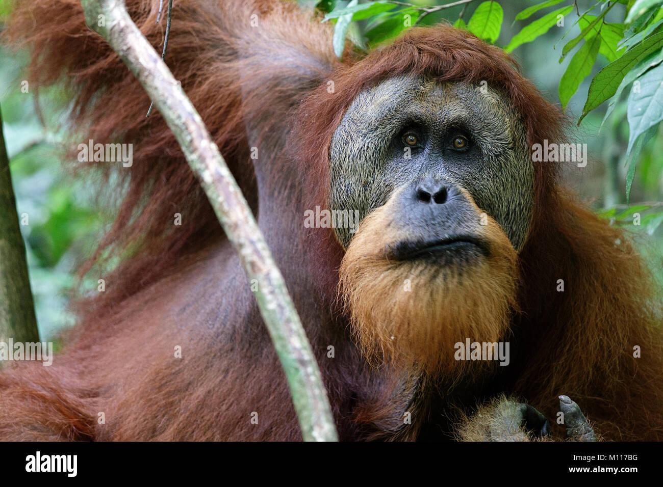 Sumatran orangutan (Pongo abelii) mature male. Gunung Leuser National Park Sumatra Indonesia. Stock Photo
