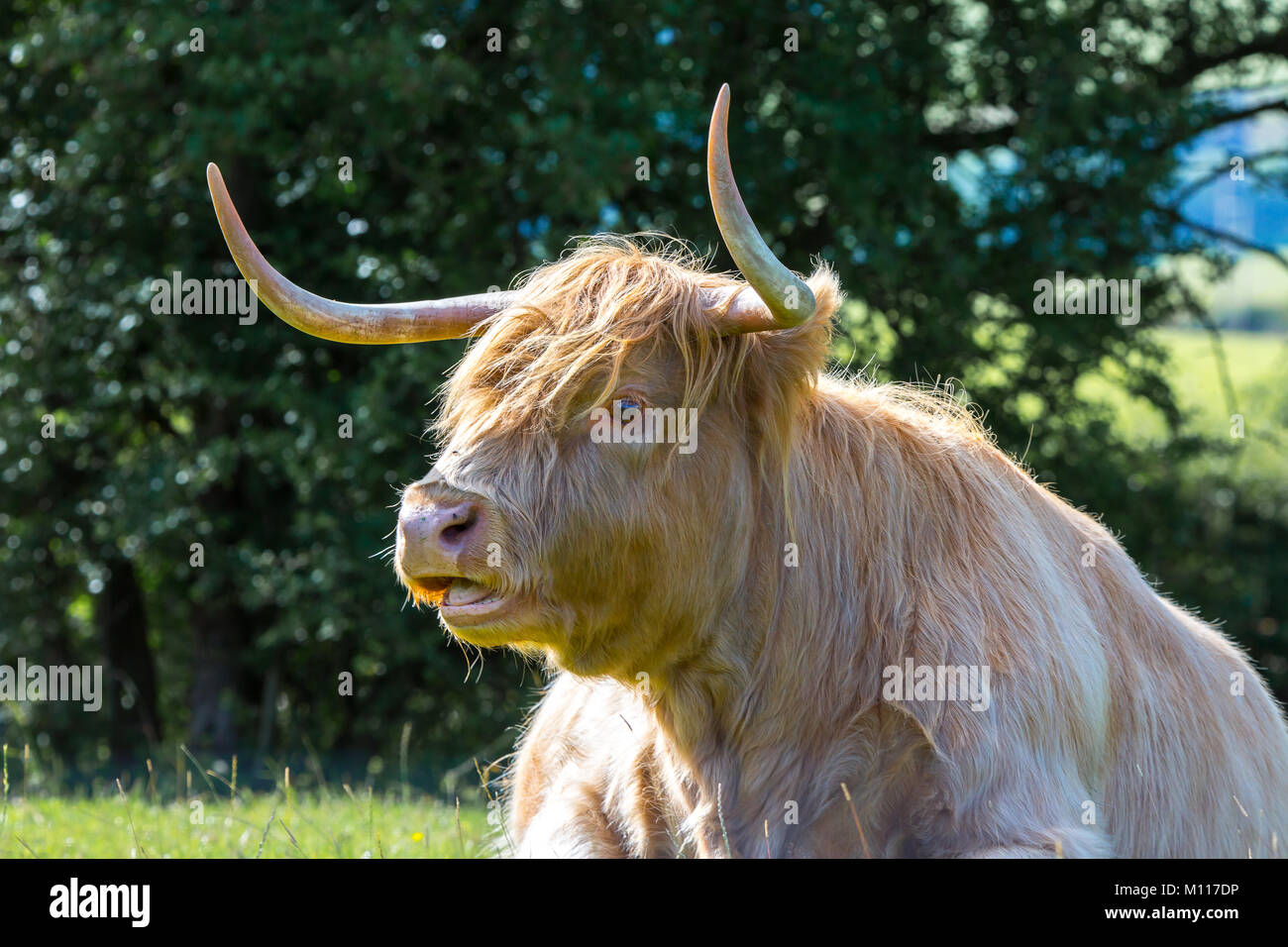 Detailed close up (head & shoulders) of magnificent Highland cow (bull) with large pointed horns sat in sunlit - Stock Image