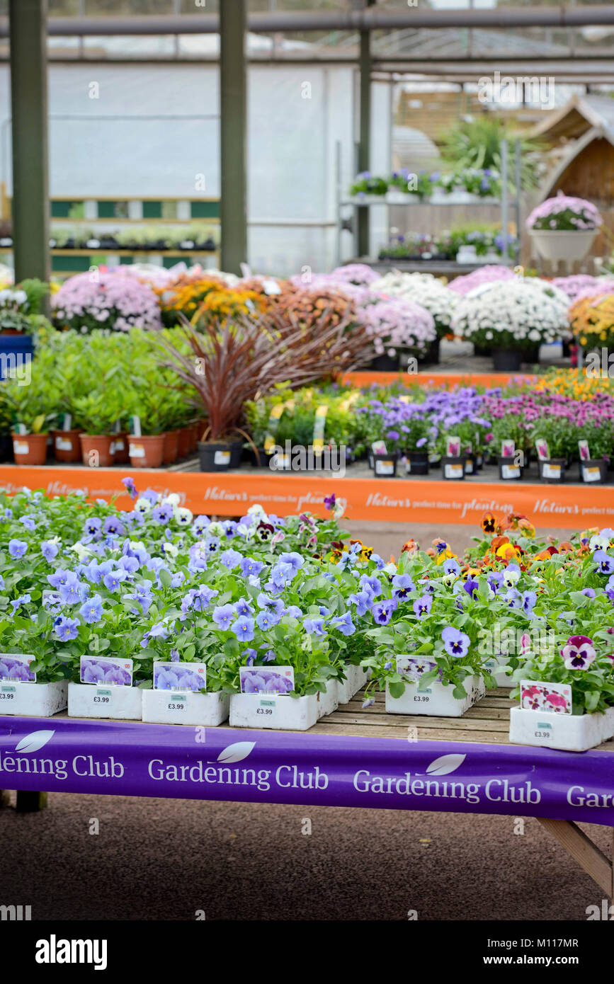 Pansies pansy flower flowers shop stock photos pansies pansy spring plants on sale in a garden centre south east uk stock image mightylinksfo