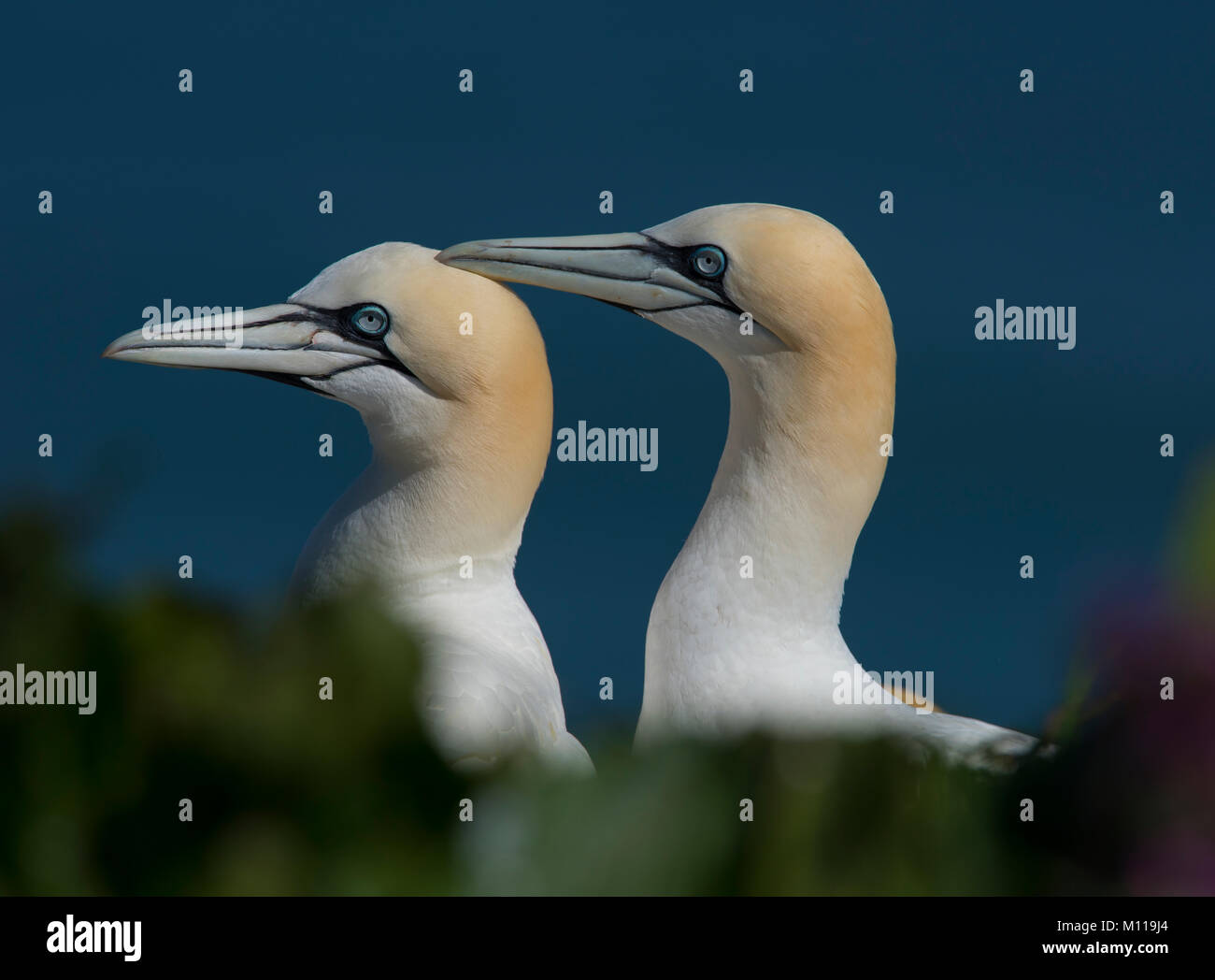 Pair of Northern Gannet Morus bassanus beak fencing in courtship display on a Northern England cliff ledge. - Stock Image
