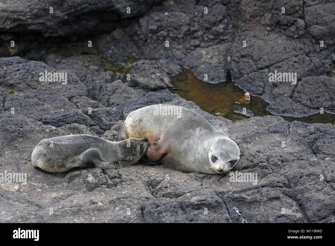 Australasian (New Zealand) Fur Seal, Arctocephalus, forsteri, suckling pup - Stock Image