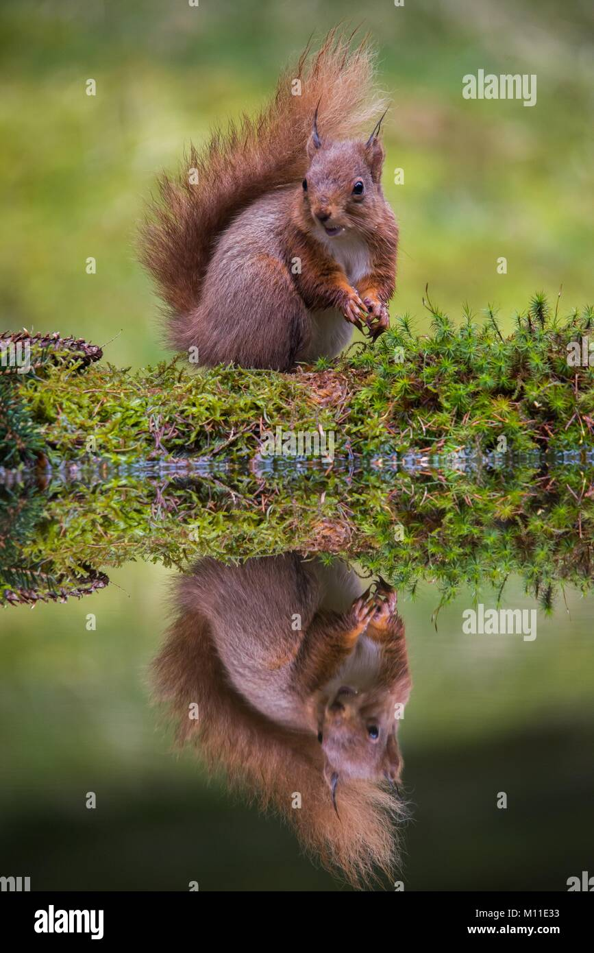 Red Squirrel Hawks Wensleydale North Yorkshire UK Stock Photo