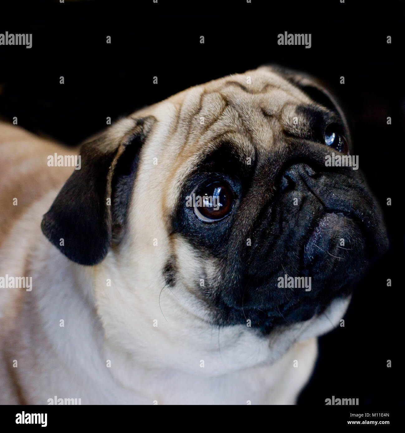 Pug dog close-up on black background, looking away - Stock Image