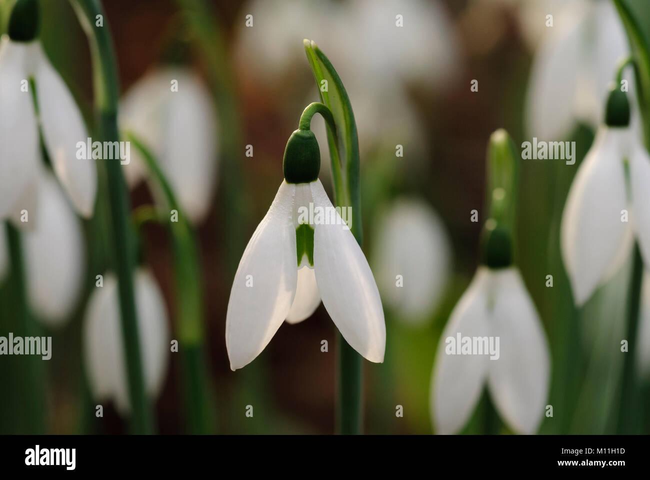 Galanthus -  Schneeglöckchen Stock Photo