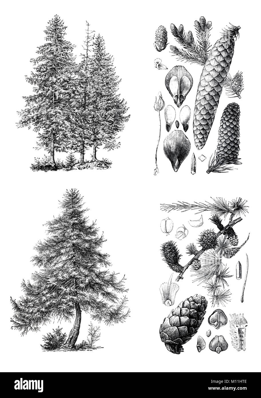 Retro vintage silhouettes of a European pine trees  An