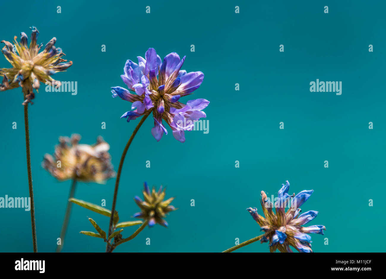 Close up image of a velvet flower on plain turquiose background Stock Photo