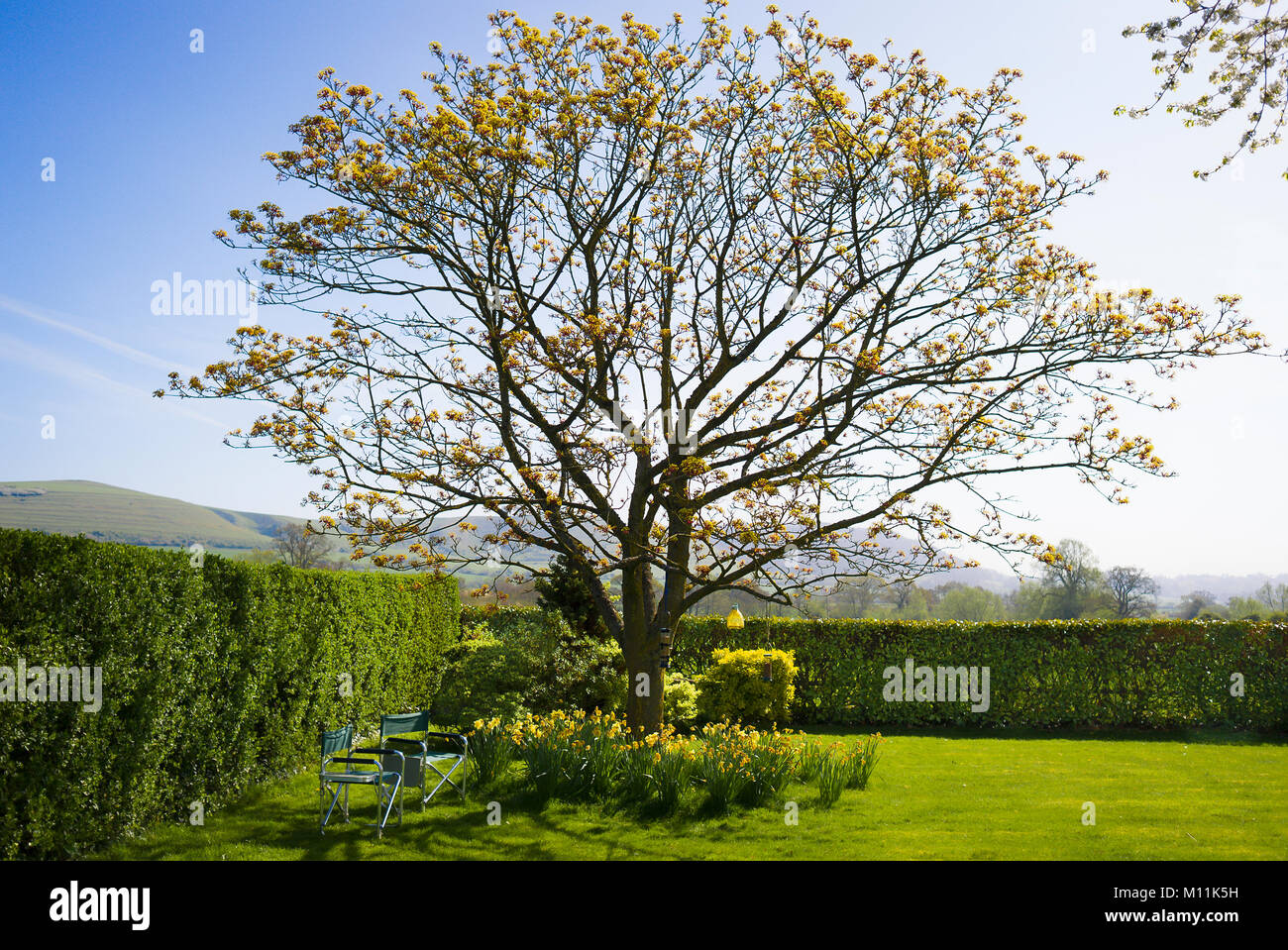 Springtime in an English country garden with a field maple flowering in April - Stock Image