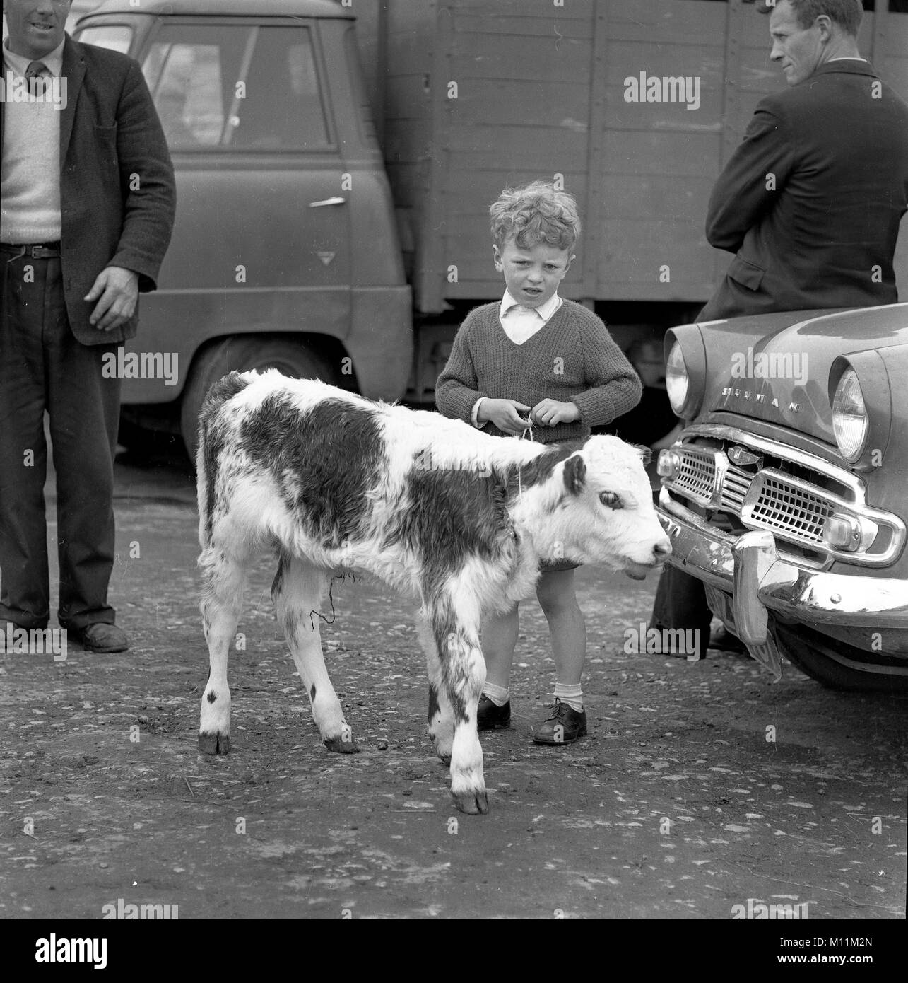 Young boy child with a calf at Galway Market in Ireland 1960 - Stock Image