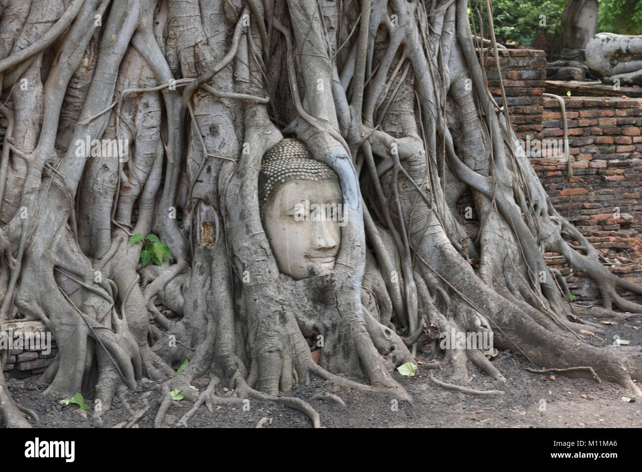 Carved head of the Buddha entwined in the roots of a banyan tree in the grounds of Wat Mahathat, Ayutthaya, Thailand Stock Photo