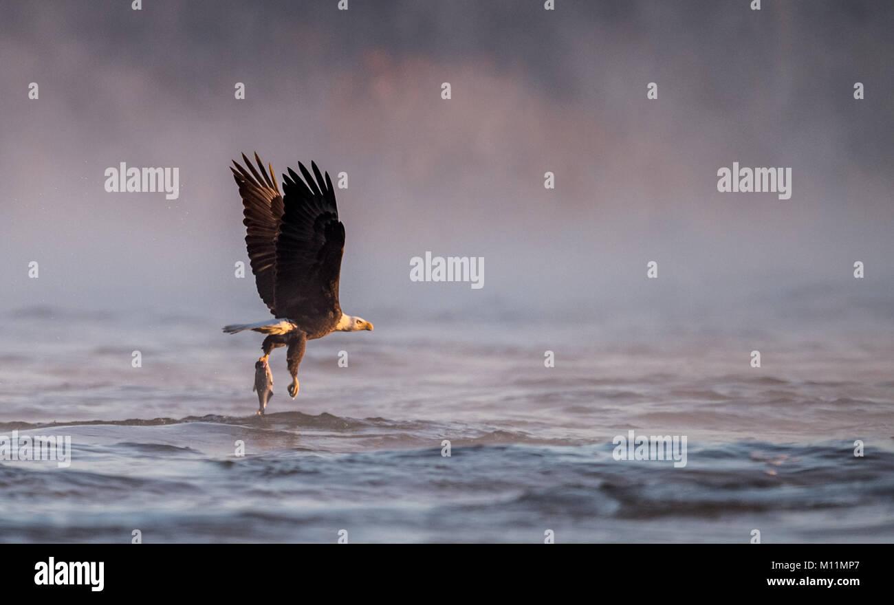 Bald Eagle - Stock Image