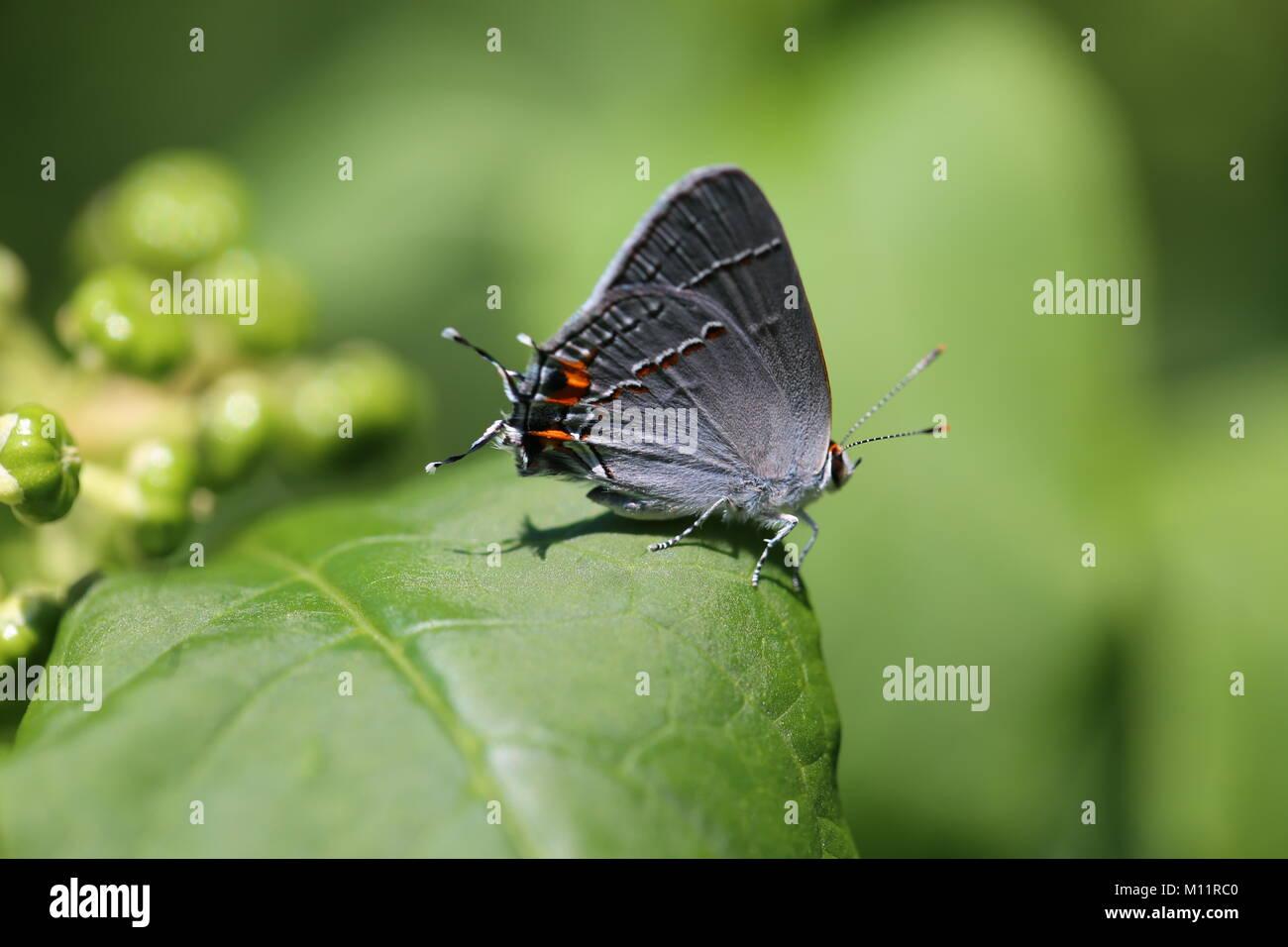 Gray hairstreak butterlfy - Stock Image