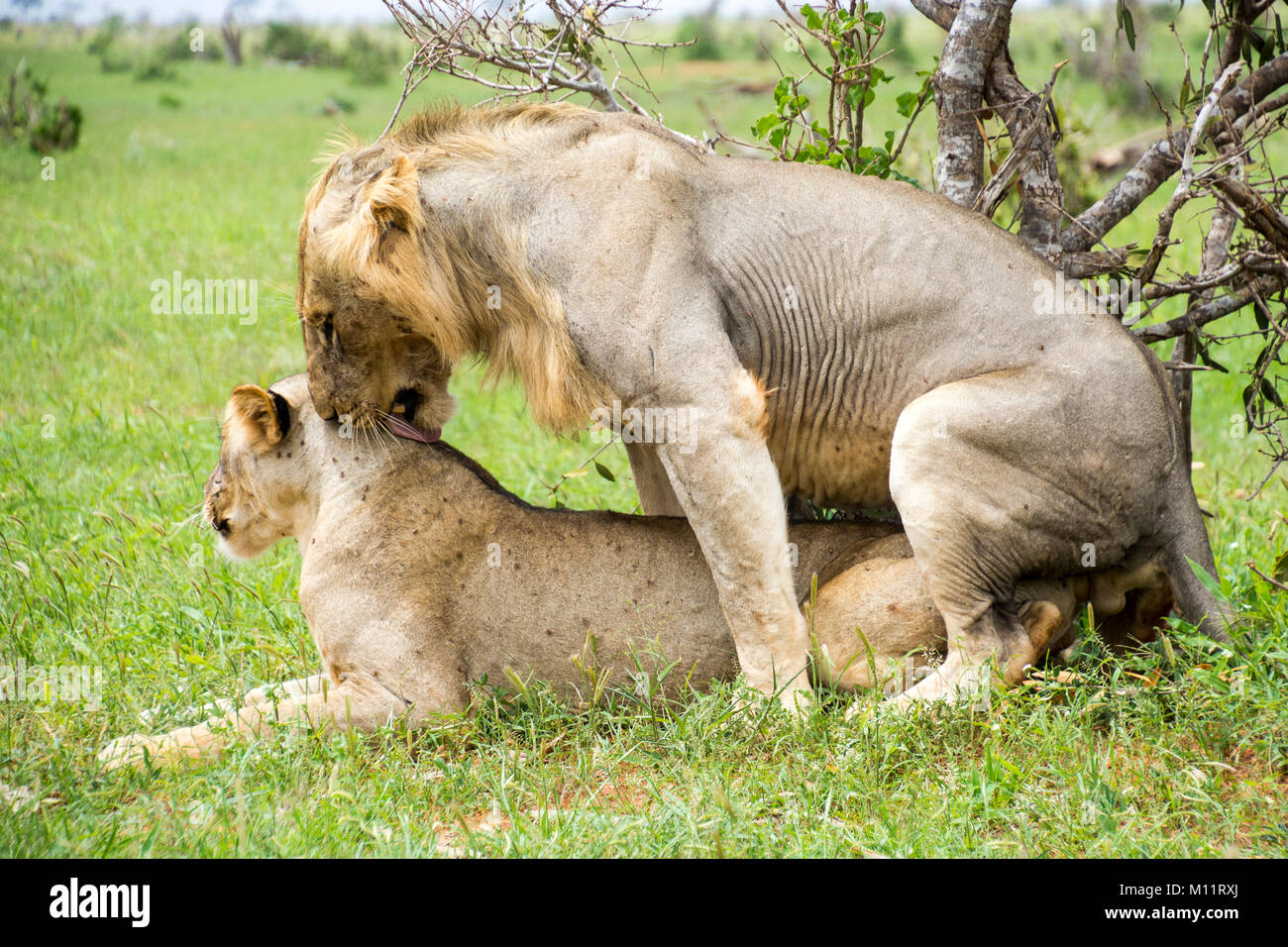 Lions Mating In The Park Stock Photo 172759066 Alamy