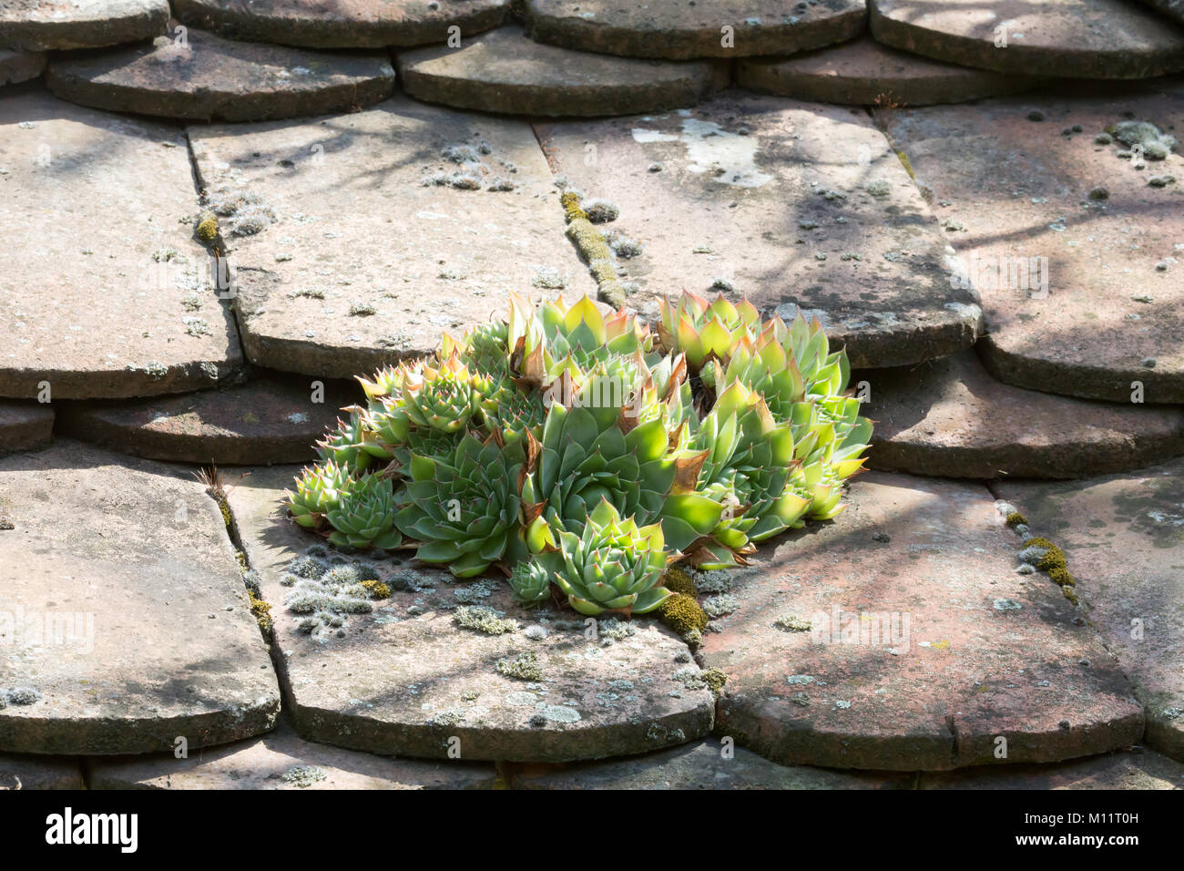 Stonecrop on tile - Stock Image