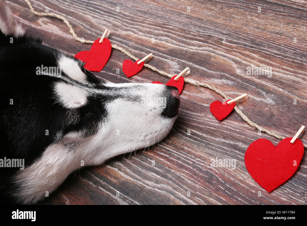 Siberian husky dog near the red hearts. Decoration for Valentine's day. - Stock Image