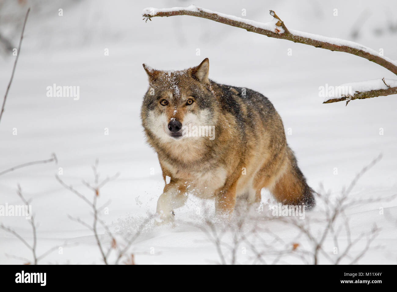 Wolf (Canis lupus) in the snow in the animal enclosure in the Bavarian Forest National Park, Bavaria, Germany. Stock Photo