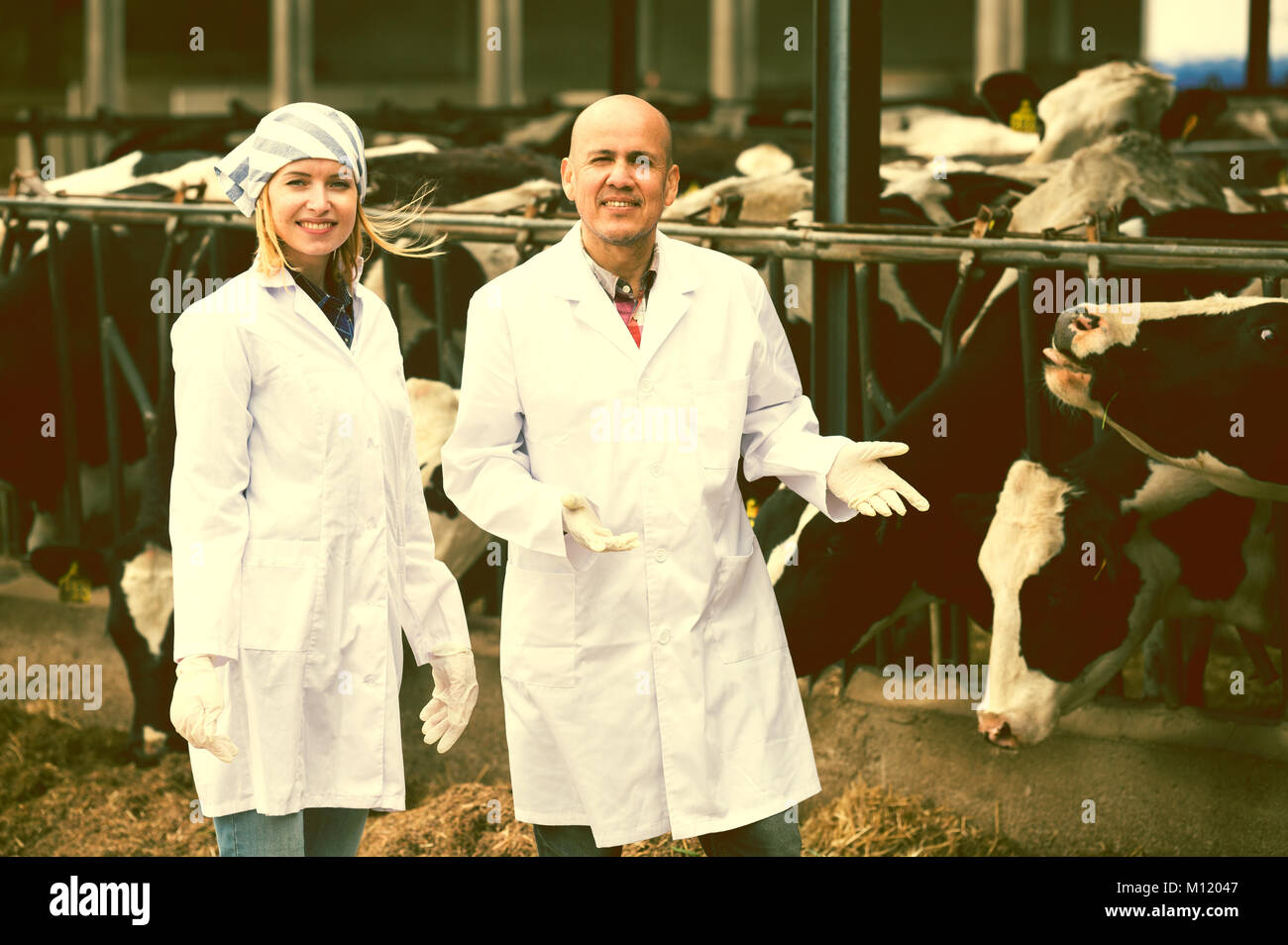 Professional vets working with cows in cowhouse outdoors Stock Photo