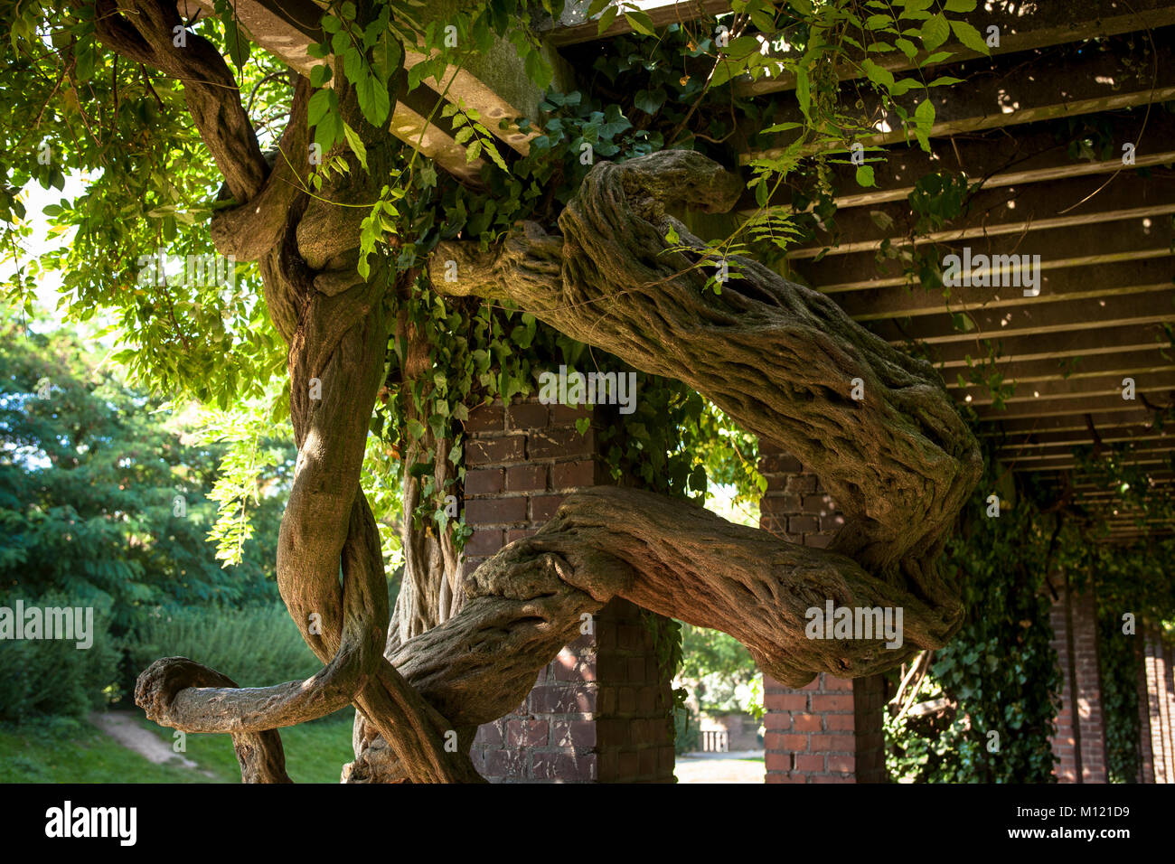 Germany, Cologne, trunk of an old Wisteria (lat. Wisteria) at the Friedenspark.    Deutschland, Nordrhein-Westfalem, - Stock Image