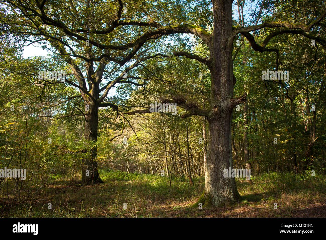 Germany, Cologne, wood of the Wahner Heath, oak trees.  Deutschland, Koeln, Wald in der Wahner Heide, Eichen. Stock Photo