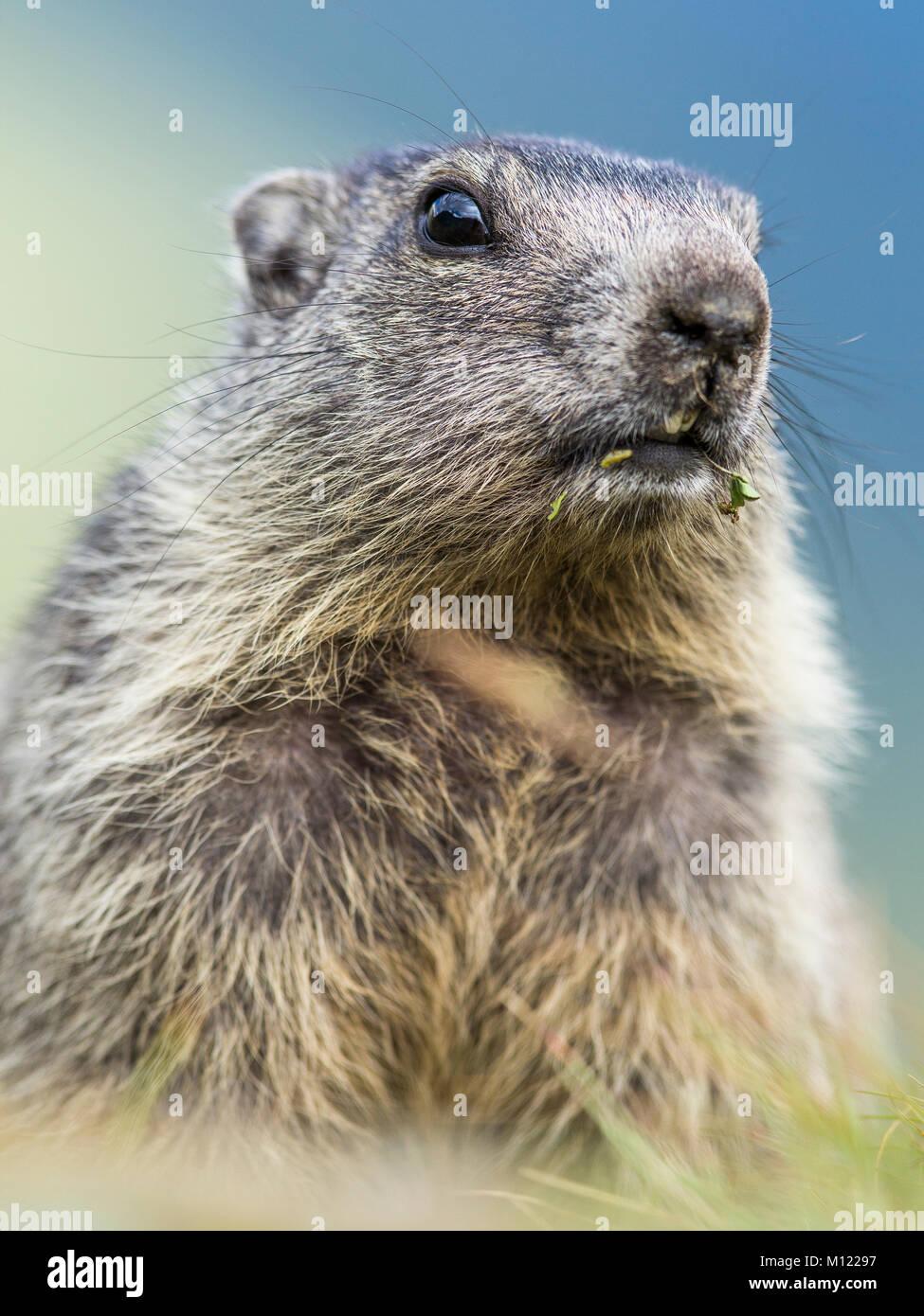Marmot (Marmota),young animal,portrait,Großglockner,Carinthia,Austria - Stock Image