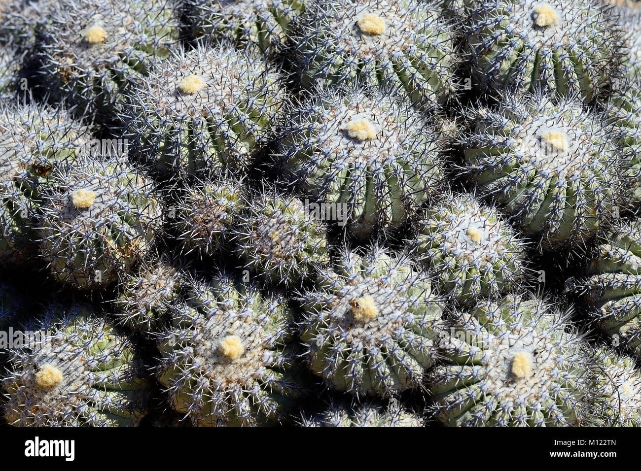 Cactus (Copiapoa cinerascens),Pan de Azúcar National Park,near Chañaral,Región de Atacama,Chile - Stock Image
