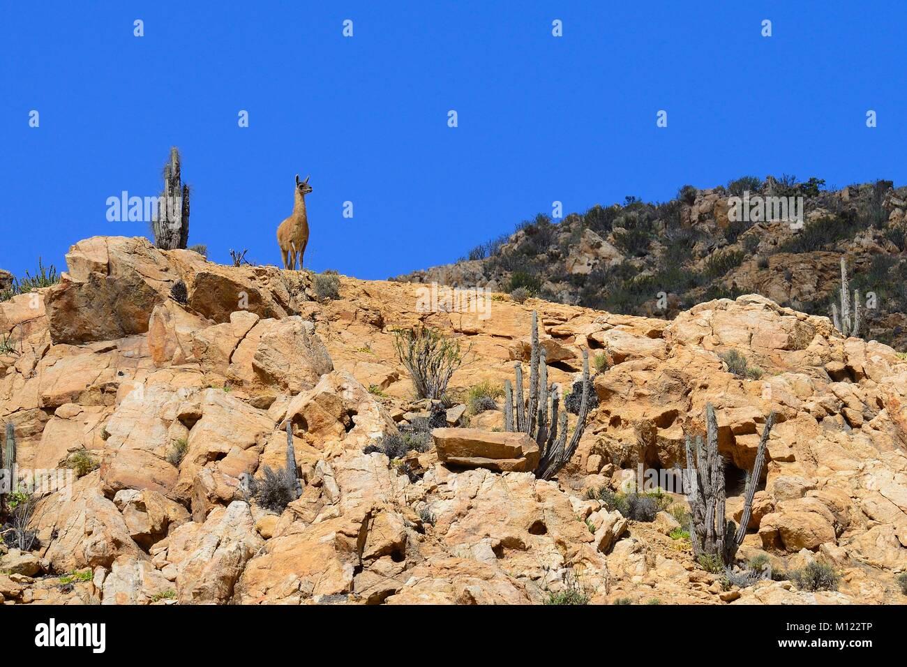 Guanaco (Lama guanicoe) on a hill,Pan de Azúcar National Park,near Chañaral,Región de Atacama,Chile - Stock Image
