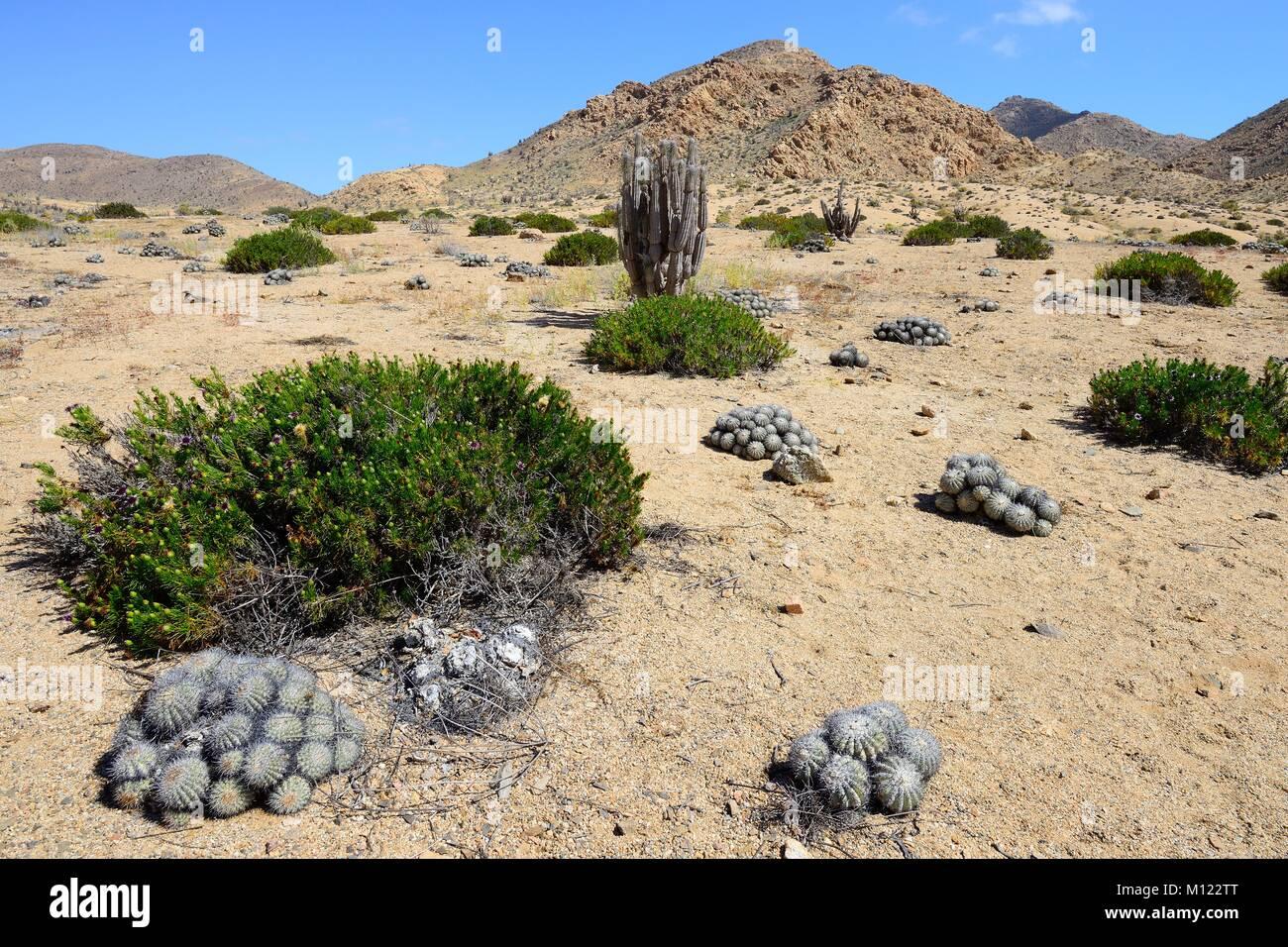 Landscape with cacti (Copiapoa cinerascens) and columnar cactus (Eulychnia iquiquensis),Pan de Azúcar National - Stock Image