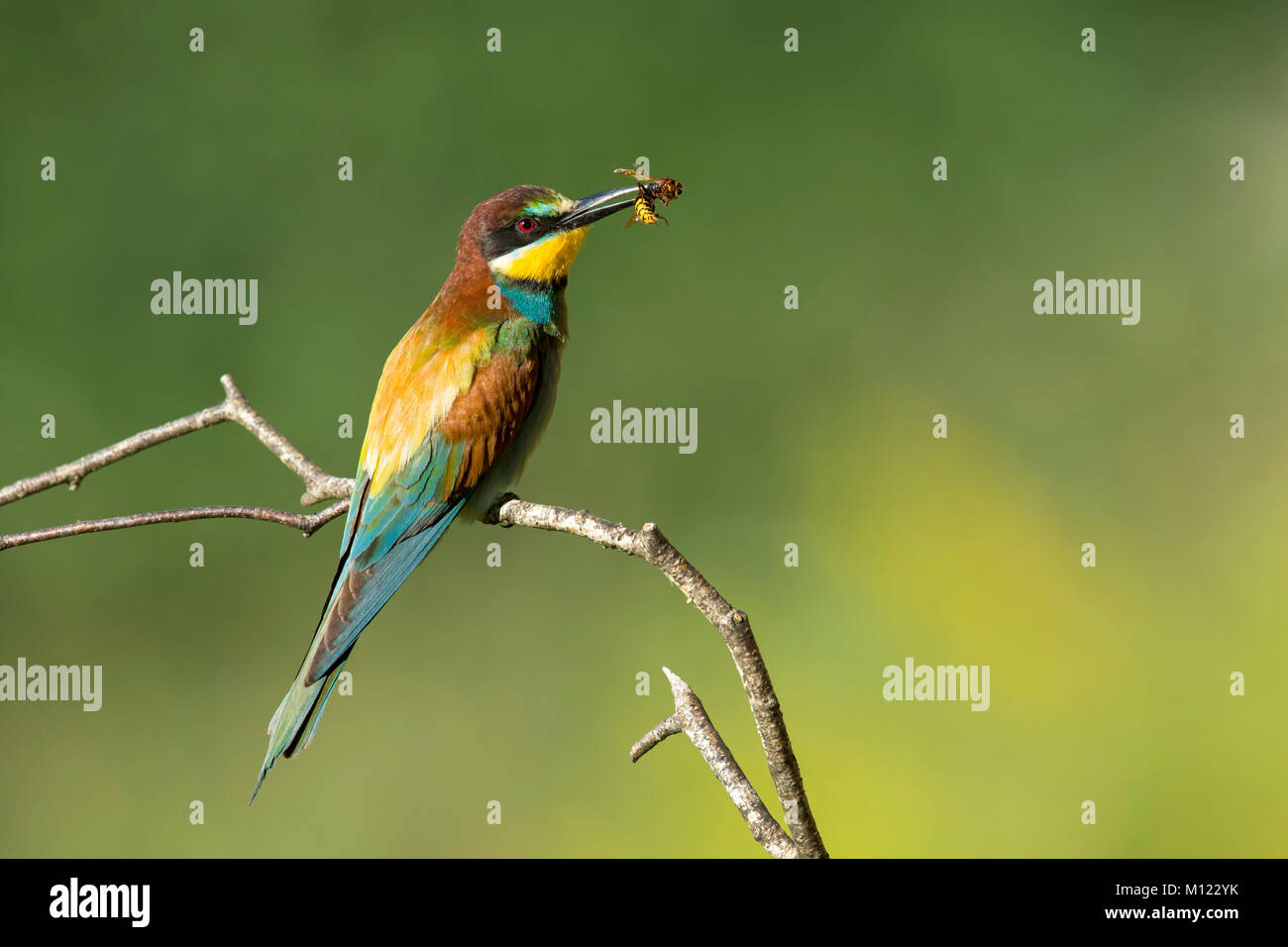 Bee-eater (Merops apiaster) with bee as prey,sitting on branch,Burgenland,Austria Stock Photo