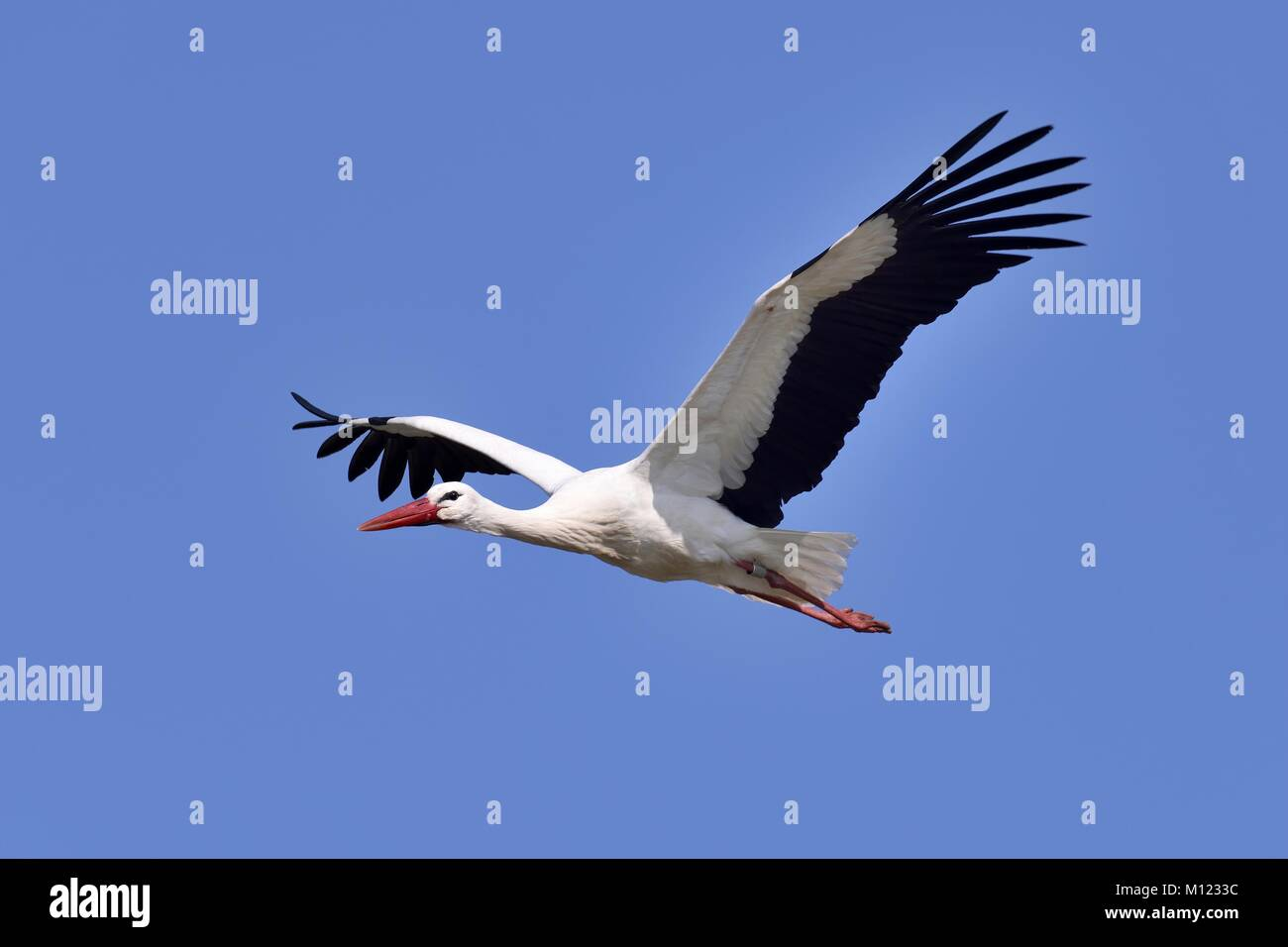 White stork (Ciconia ciconia),adult,flying,Canton of Aargau,Switzerland - Stock Image