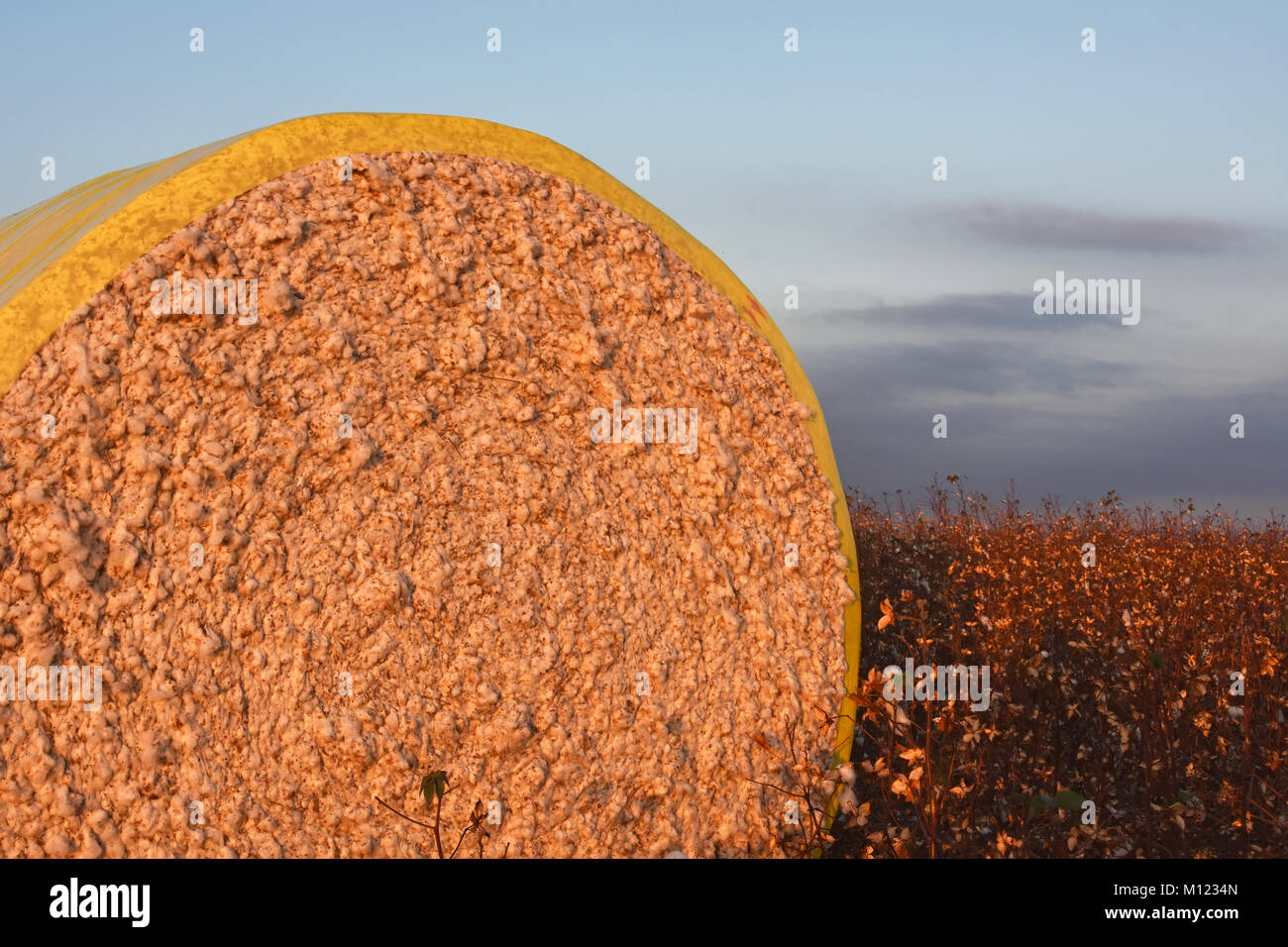 Cotton bale in the field - Stock Image