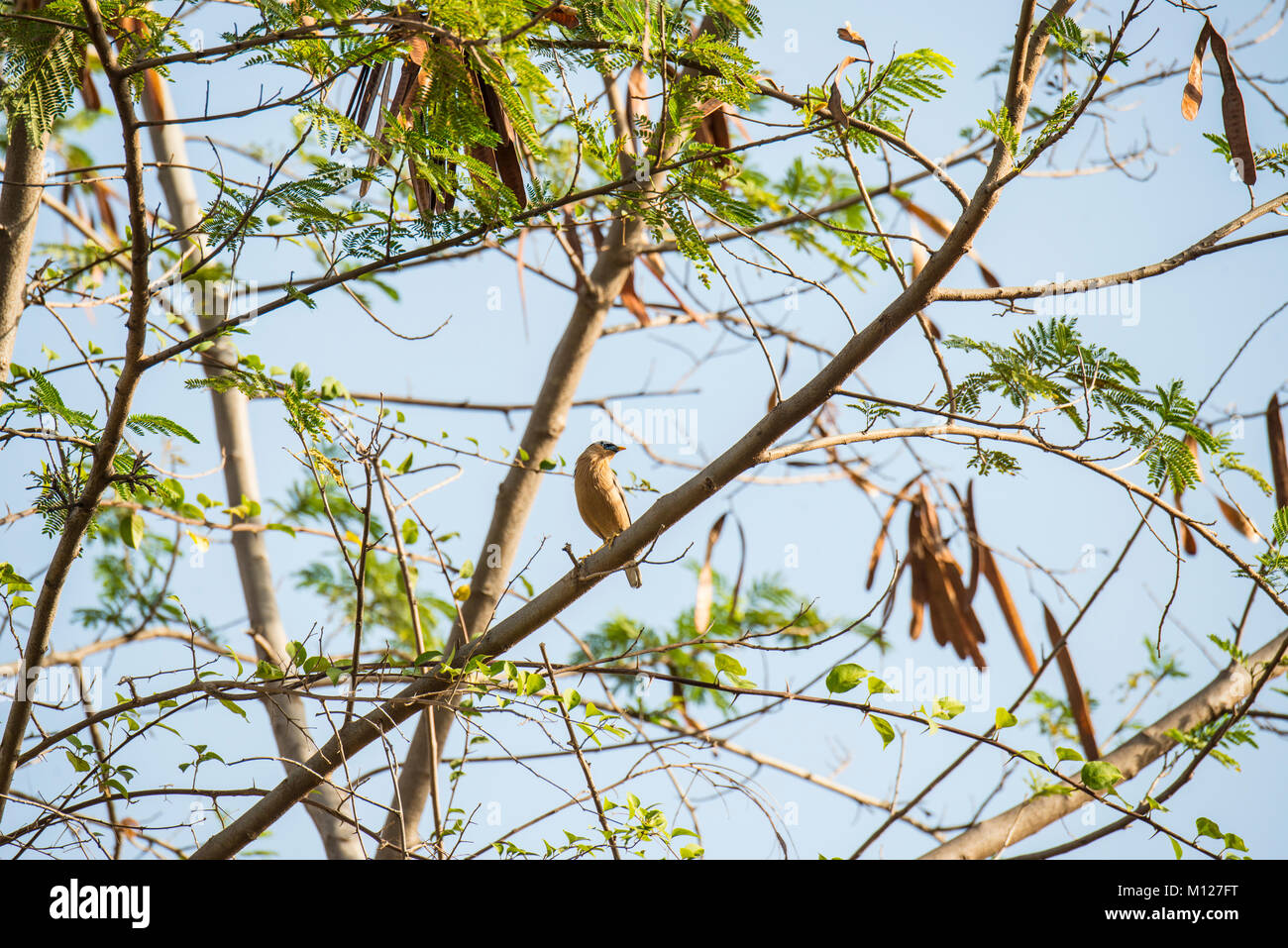 A brahminy starling sits basking in the mormning light in Sariska National Park in Rajasthan, India - Stock Image