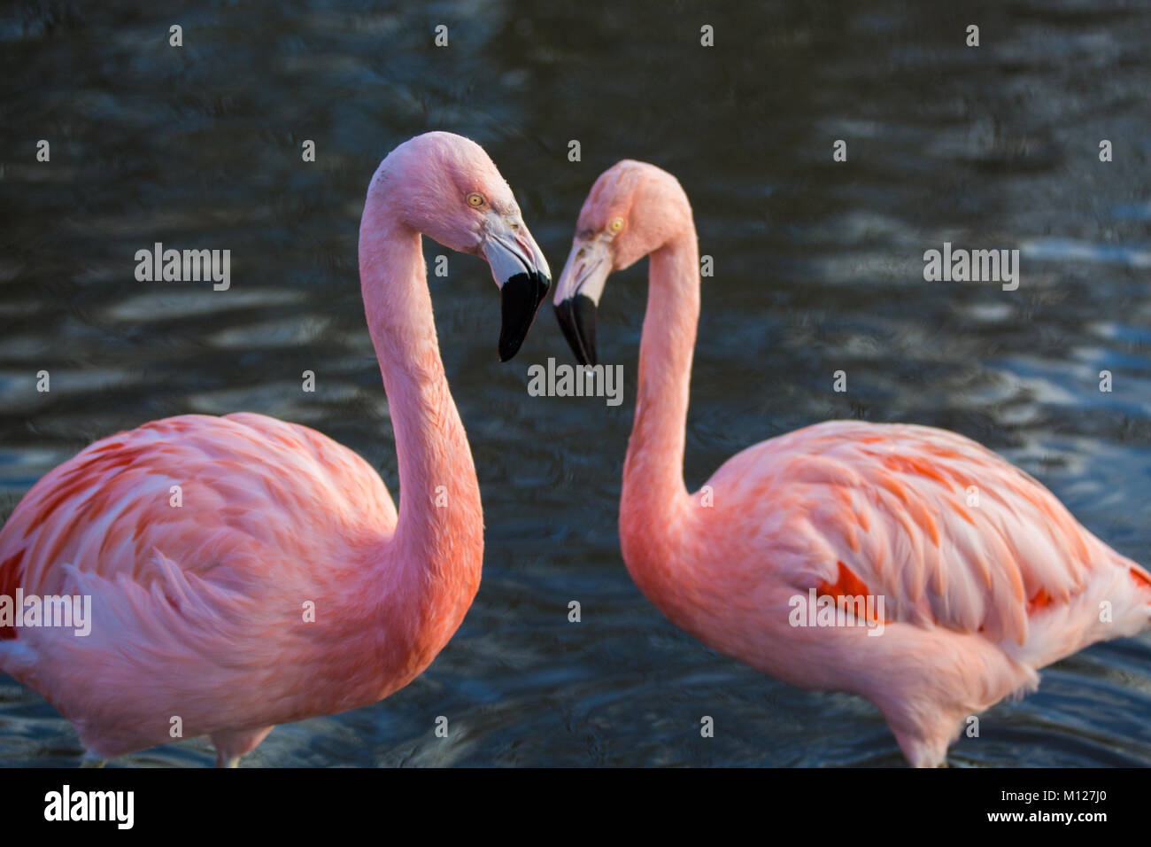 Pink Flamingo pair - Stock Image