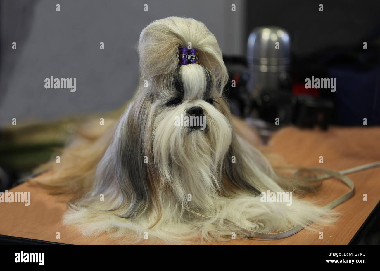 lap dog with the hairstyle sits on the table Stock Photo