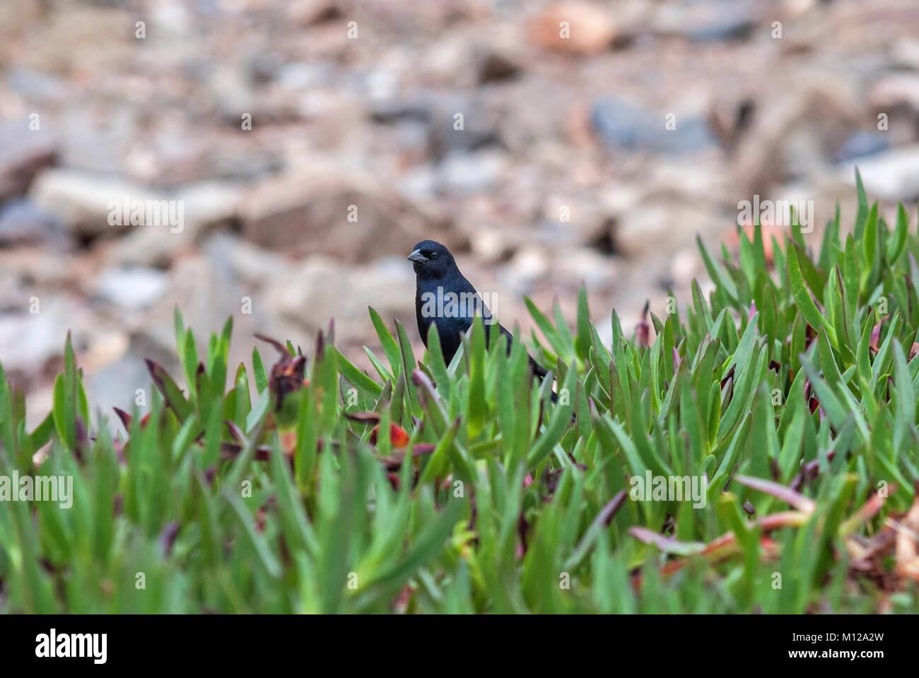 Black bird behind the green grass standing still. Punta del Este. Stock Photo