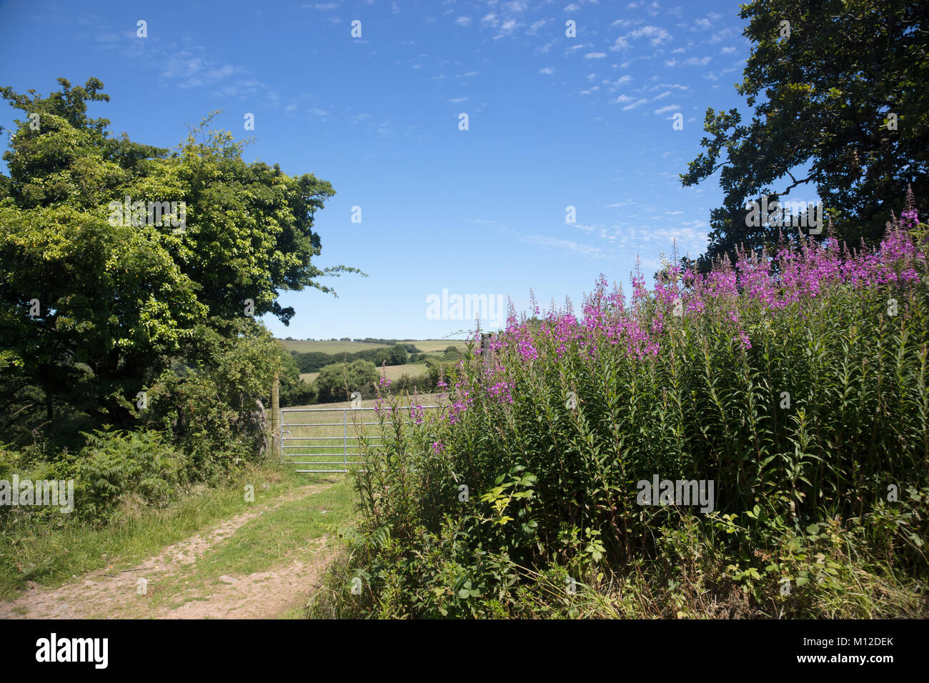 Pink wildflowers in the hedgerows of North Devon England - Stock Image