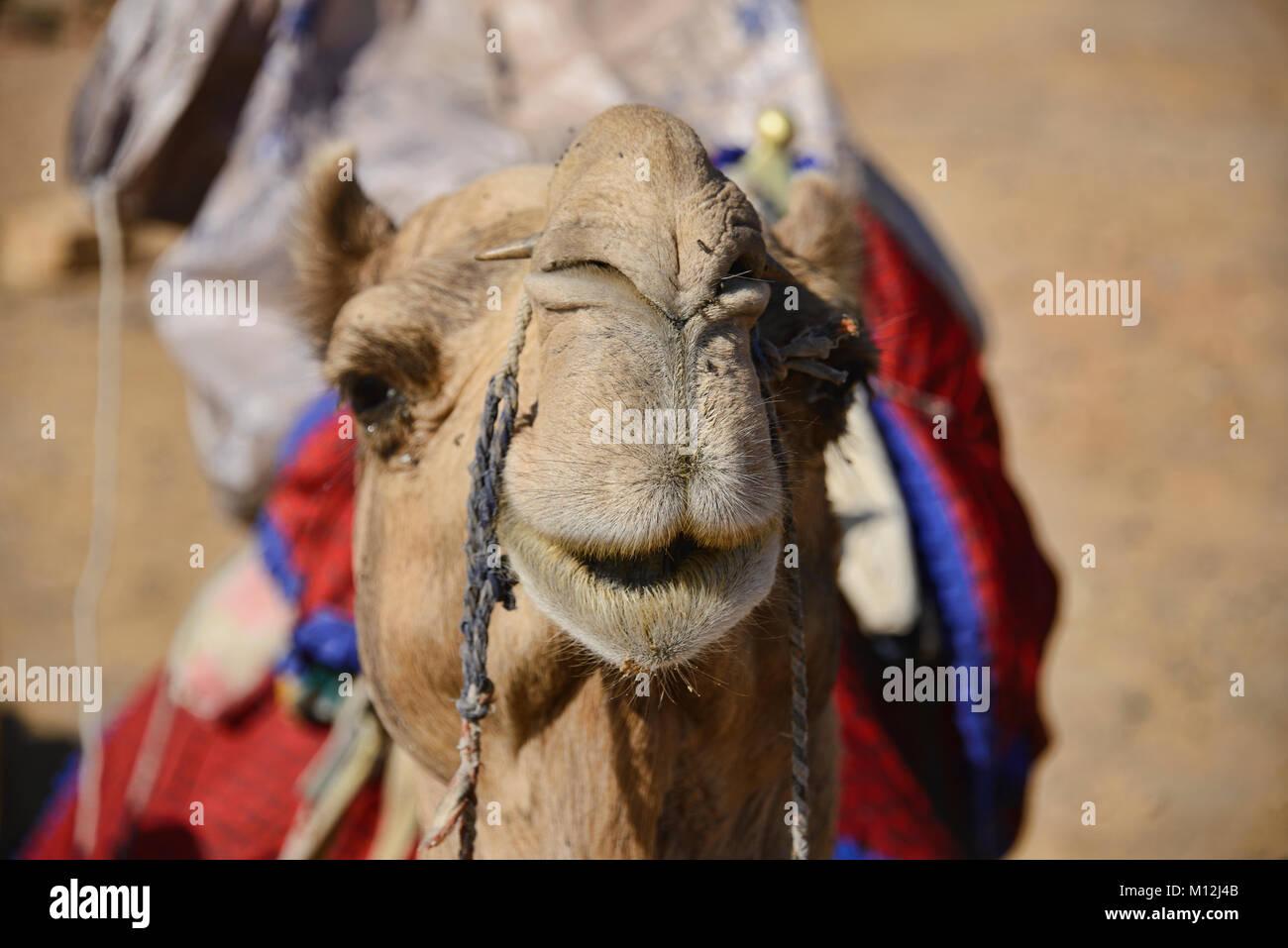 Camel trekking in the Thar Desert, Rajasthan, India Stock Photo
