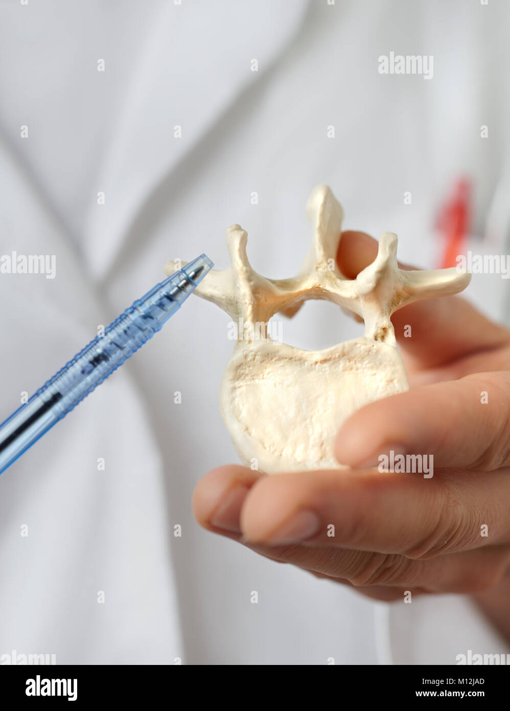 Closeup on a model of human vertebra in hand of a heath practitioner pointing at it. - Stock Image