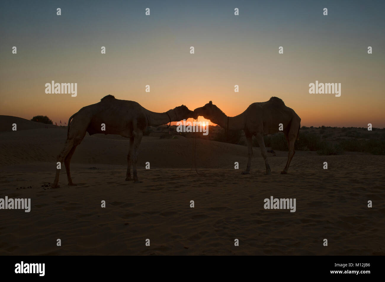 Kissing camels at sunset, Thar Desert, Rajasthan, India - Stock Image