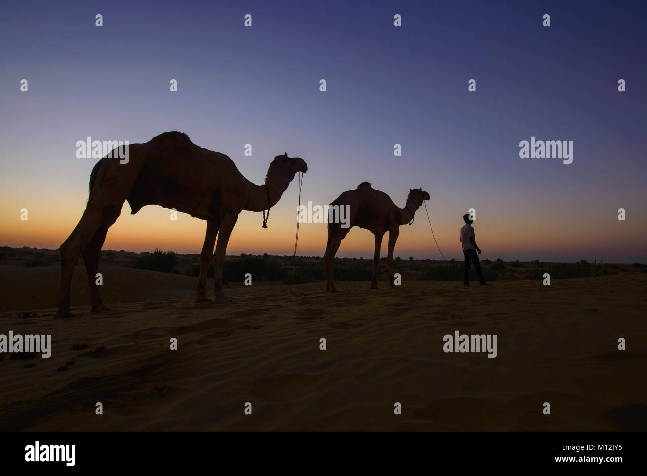 Camels at sunset, Thar Desert, Rajasthan, India - Stock Image