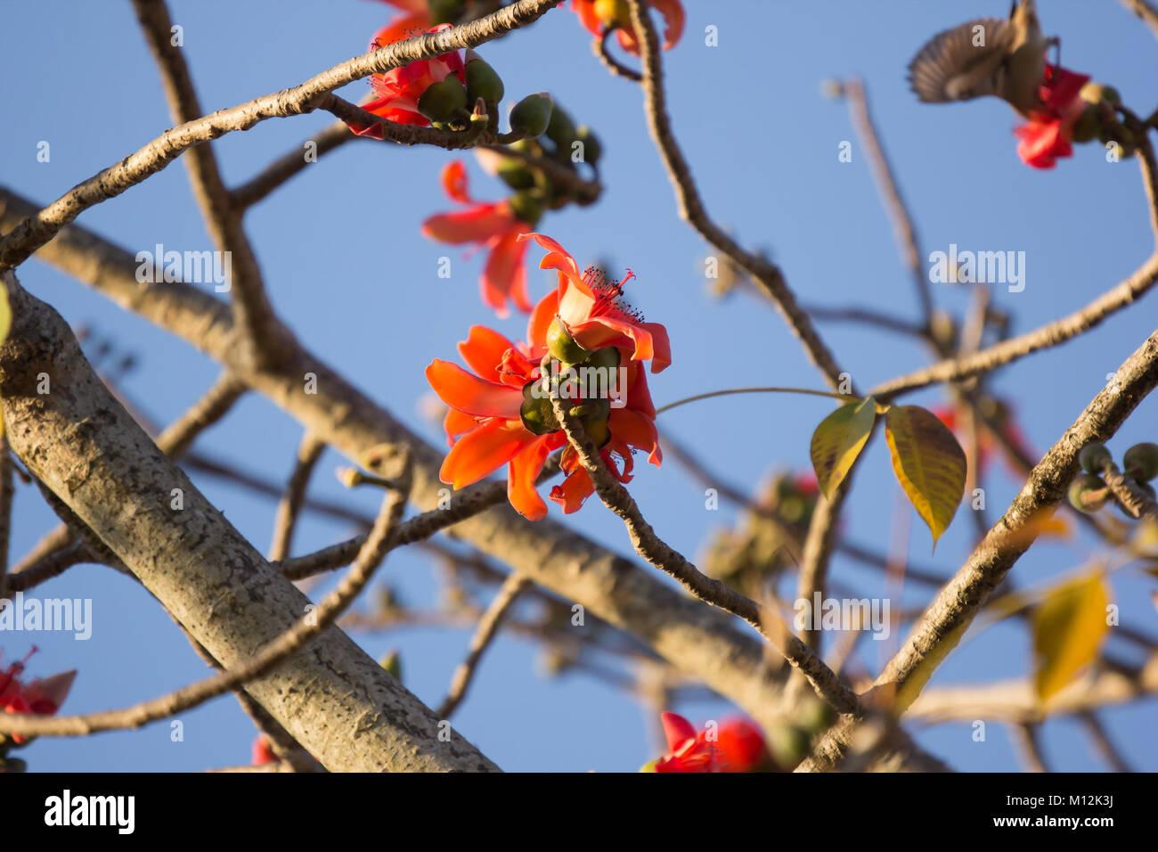 Flower of Bombax ceiba tree with blue sky background Stock Photo