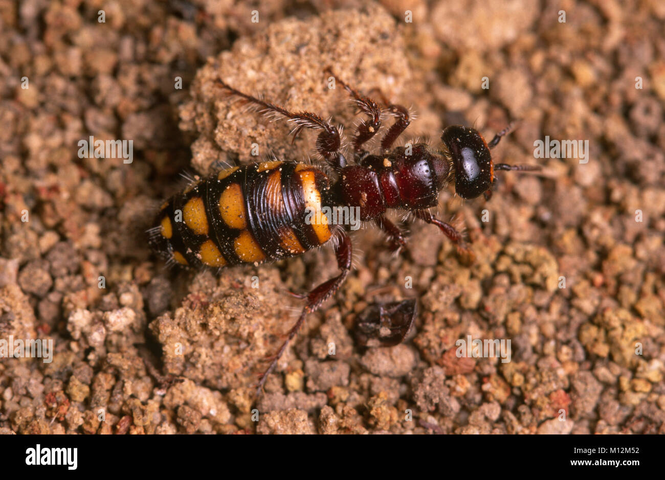 Wingless female flower wasp (Tiphiidae) Stock Photo