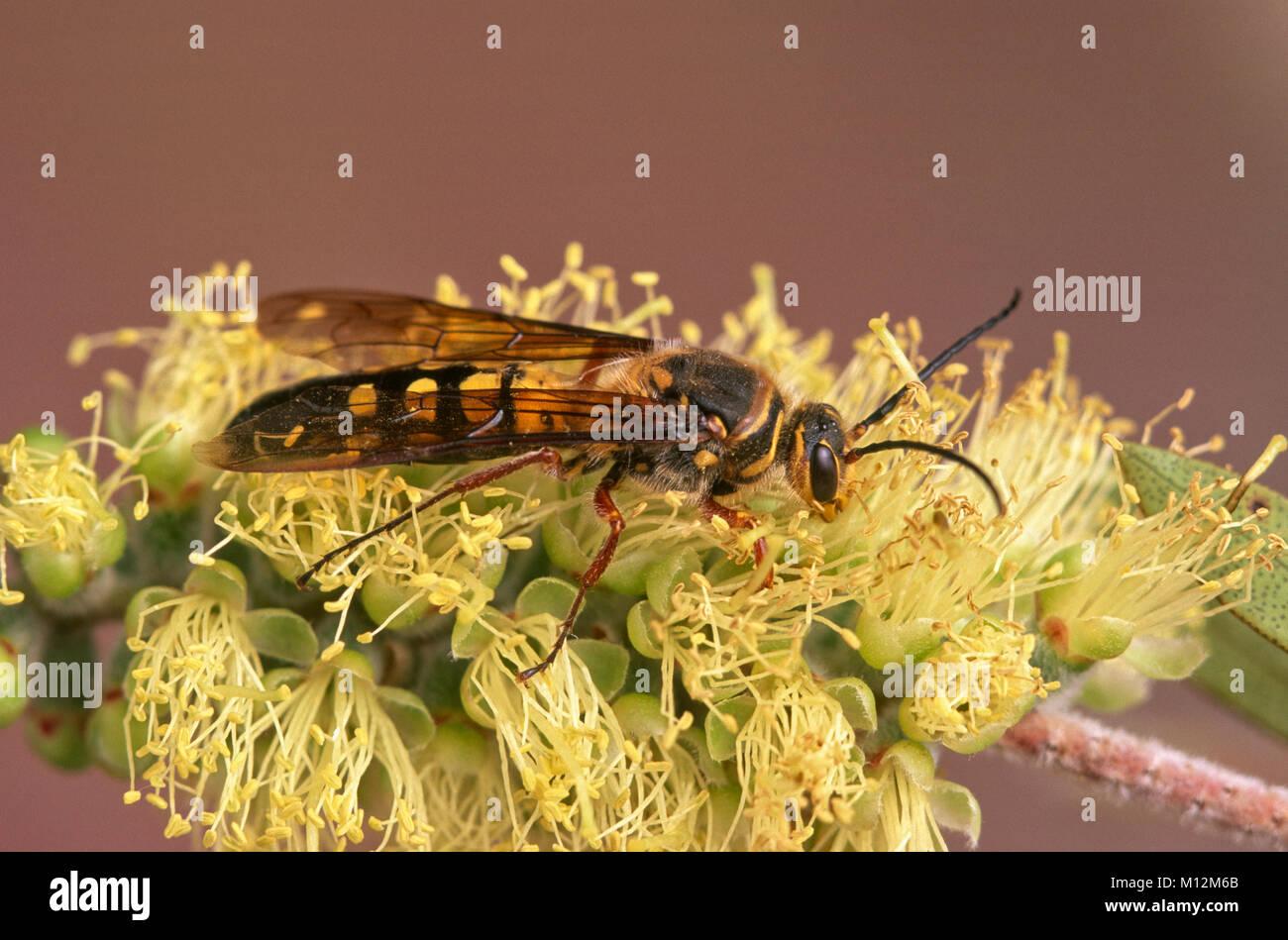 Male flower wasp (Tiphiidae) on bottlebrush flower - Stock Image