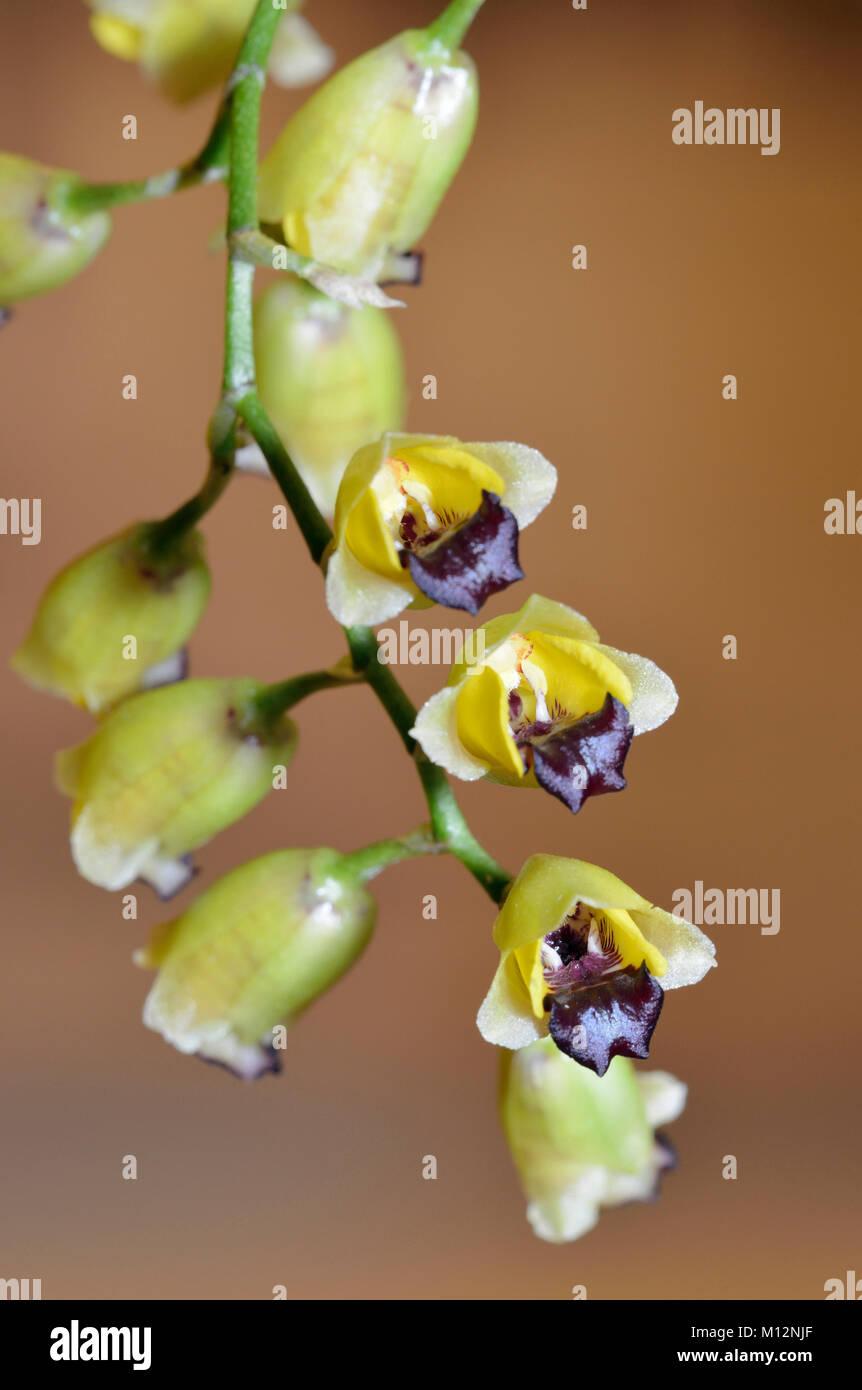 Hedge Hog Baptistonia Orchid - Baptistonia echinata  Epiphyte from Brazil - Stock Image