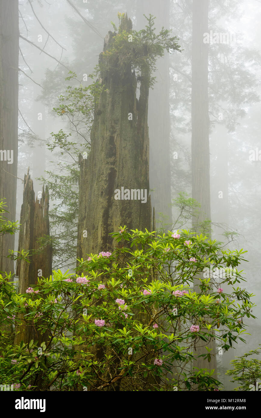 Rhododendron and redwood trees; Damnation Creek Trail, Del Norte Redwoods State Park, California. - Stock Image