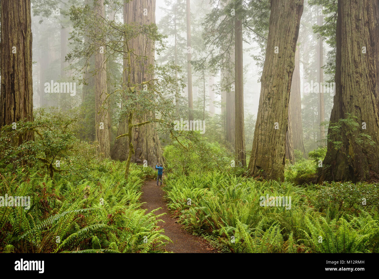 Visitor taking photo of redwood tree with cell phone in Lady Bird Johnson Grove, Redwoods National and State Parks, - Stock Image