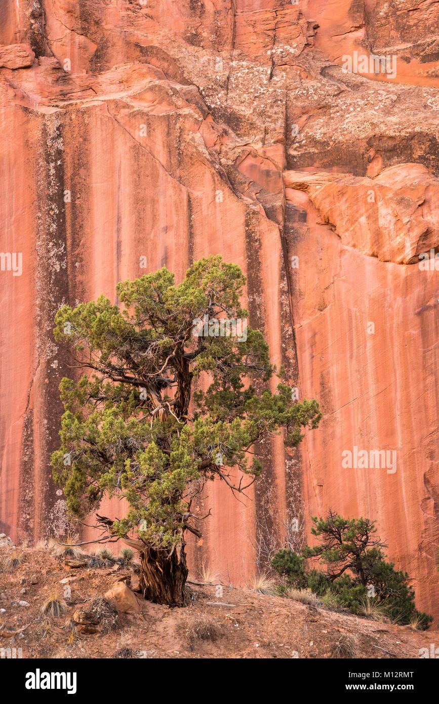 Utah Juniper tree and sandstone cliff in Grand Wash, Capitol Reef National Park, Utah. - Stock Image