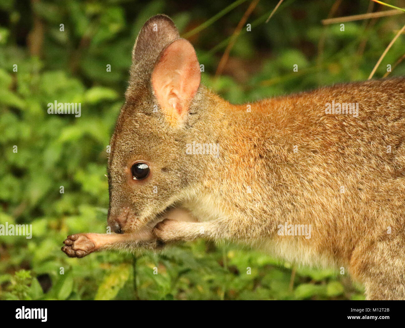 A Pademelon scratching an itch in Lamington National Park. - Stock Image