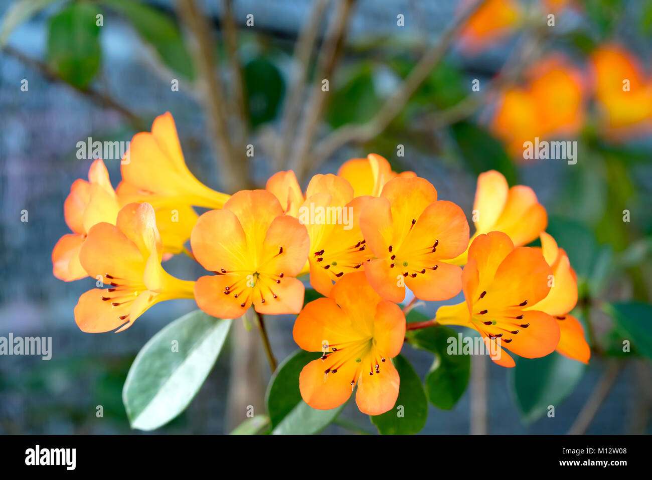 Multi colored flowers beautiful bouquet colored stock photos multi azalea flowers blooming with yellow color mixed with black notes from the pistil affectionate nature lover mightylinksfo
