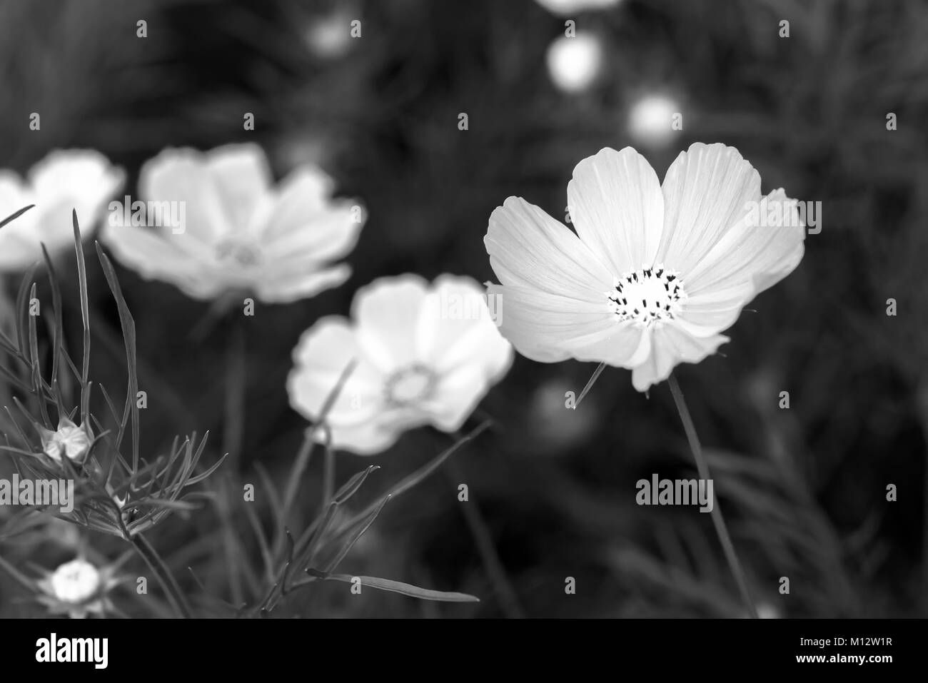 Cosmos bipinnatus flowers shine in the flower garden with colorful shimmering bonsai and beautiful. This flower - Stock Image