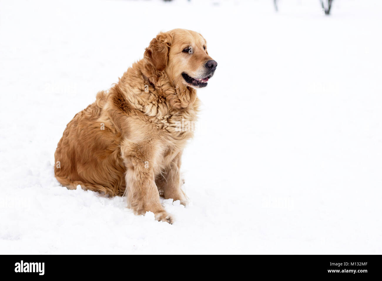 old golden retriever dog winter portrait with snow - Stock Image